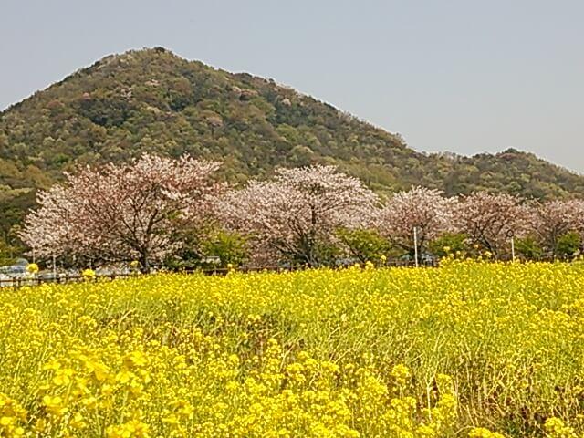 バス菜の花.JPG